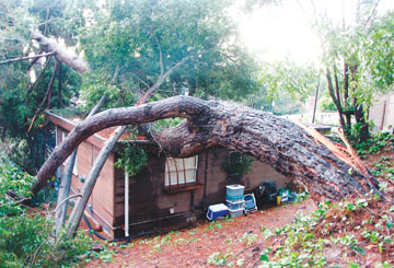 Richard Brenneman: A storm-blown black acacia tree landed on top of a home at 439 Arlington Ave. Wednesday, forcing the evacuation of residents. Over the three-day holiday weekend Berkeley firefighters and public works crews responded to 120 calls, most of them storm related..