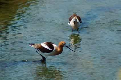 American avocets, one of the top five shorebird species in San Francisco Bay.
