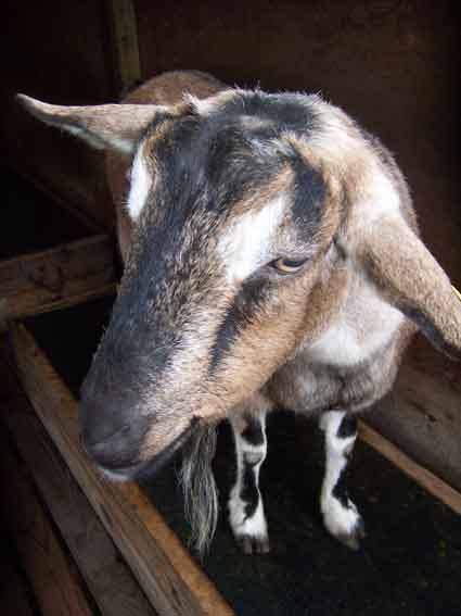 Honey the goat has been missing from Tilden Park's Little Farm since Thursday, Jan. 7.