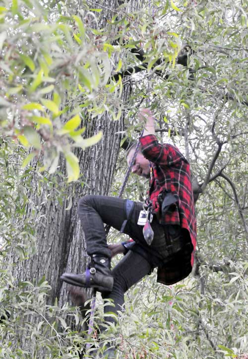 UC Berkeley briefly gained a pair of tree-sitters Monday morning in one of two acacias at People's Park designated for the ax by university officials. The activists and the tree came down a day later.