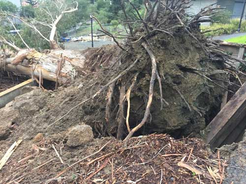The tree that fell, killing a driver on the UC Berkeley campus, had improperly cut roots,.