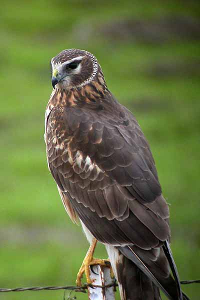 Suspect: a female northern harrier.
