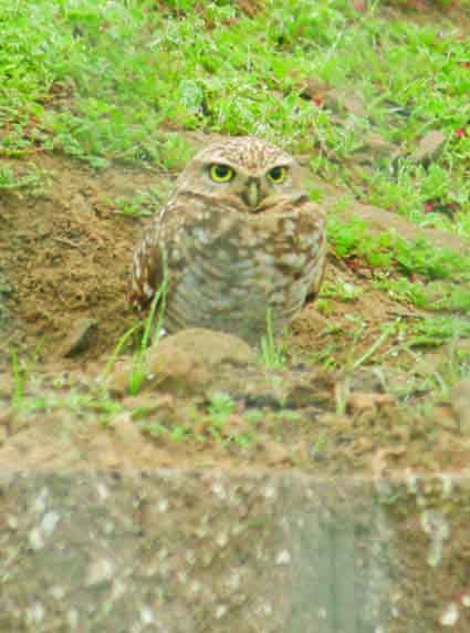 A burrowing owl at the Antioch construction site.