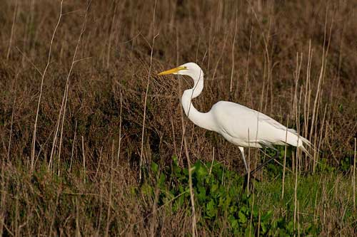 GREG for short: great egret at Palo Alto Baylands