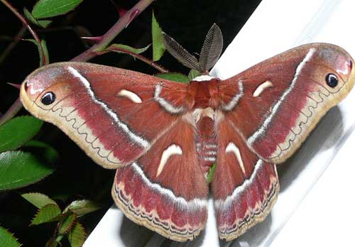 The Ceanothus silk moth has a brief adult life.