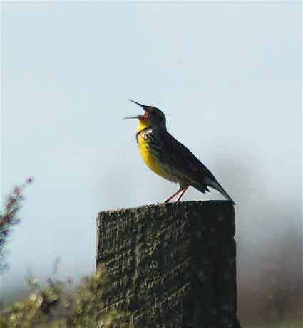 A Western meadowlark belting out his loud and complex melody at Isenberg Crane Sanctuary near Lodi, California.