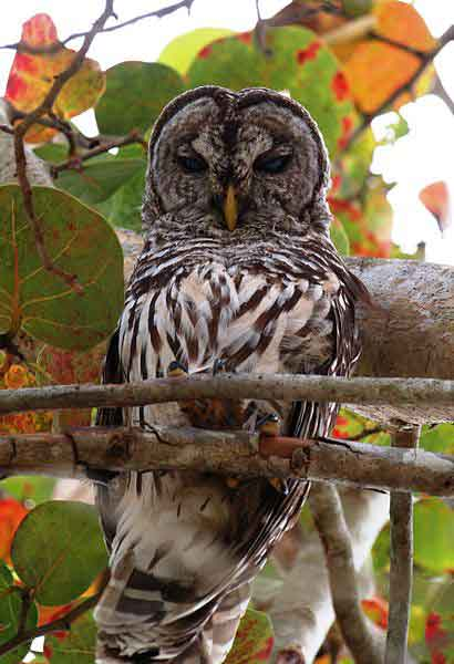 Barred owl in Everglades National Park.