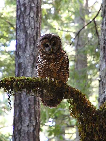 Spotted owl in Humboldt Redwoods State Park.