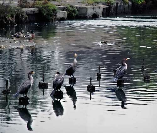 The birds of Berkeley's Aquatic Park #5