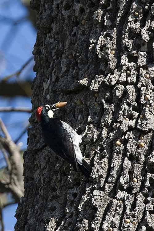 Nature's file clerk, the acorn woodpecker.