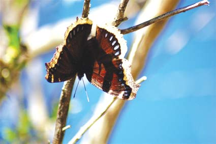 An elderly mourning cloak basks in the late winter sun.