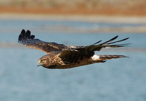 A female northern harrier cruising for voles.