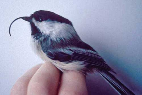 Alaskan black-capped chickadee with avian keratin disorder.