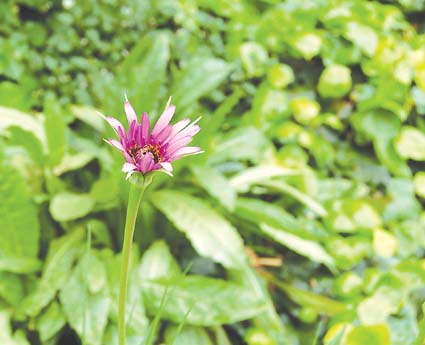 "Salsify—""oyster plant""—is a common local weed with an edible root."