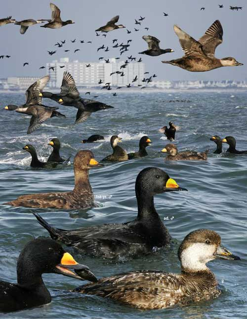 Ducks: Black scoters, probably at the Jersey Shore.