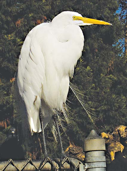 A great egret, perched on a fence at Lake Merritt.