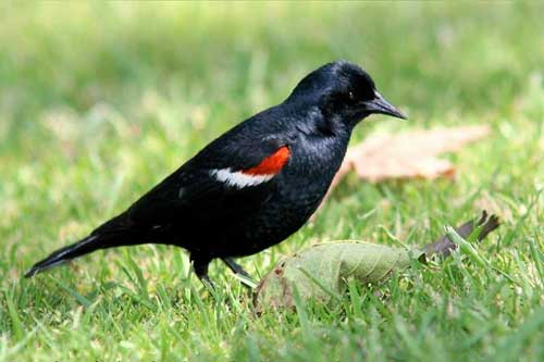 Adult male tricolored blackbird: endangered but unprotected.