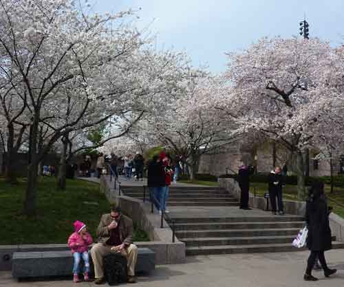 Masses of flowering cherries flank the Franklin Delano Roosevelt Memorial in Washington D.C.  These trees continue all around the adjacent Tidai Basin.
