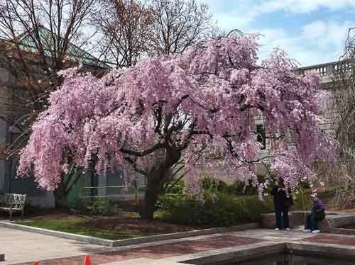 A weeping cherry brings transient beauty to the Enid Haupt Garden next to the Smithsonian Castle on the Washington Mall.