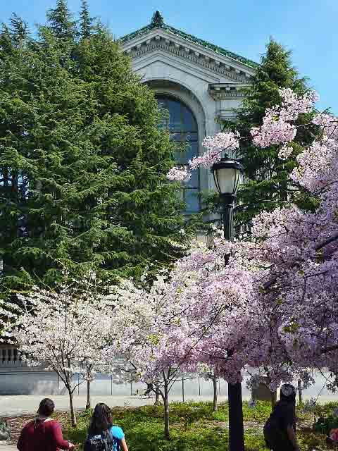 A large ornamental cherry planting blooms north of California Hall below Doe Library.