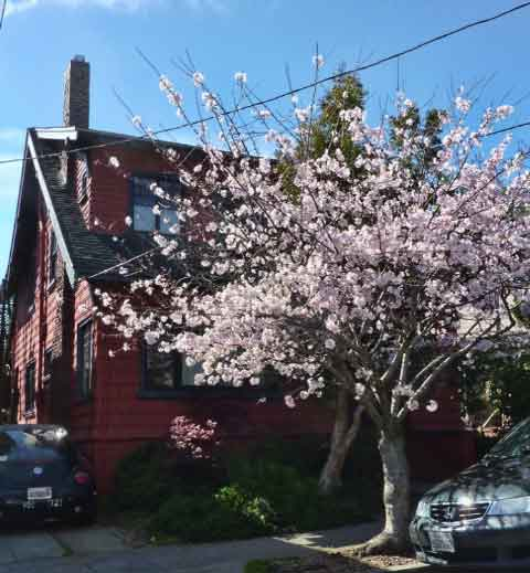 Berkeley's Cherry Street was named for an old orchard on the site and does feature some flowering cherries today.