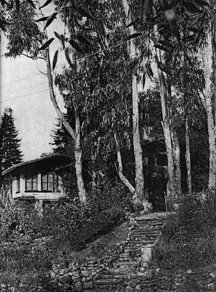 The eucalyptus trees surrounding the Maybeck Studio are descended