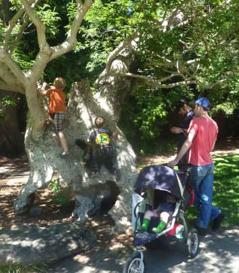 Children clambered on the ancient California Buckeye tree in Faculty Glade.