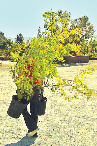 Dunsinane: Thataway. Lisa Arnold, a hands-on owner, totes Japanese maples to a new display.