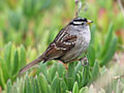 A semi-local (Half Moon Bay) white-crowned sparrow