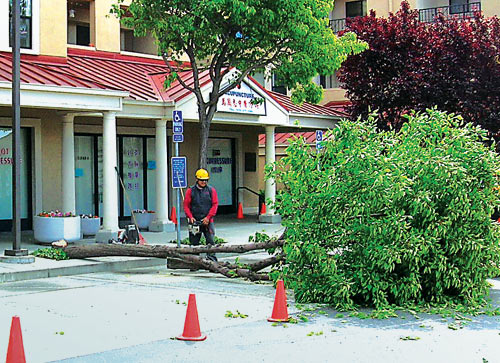 A worker saws a tree that was cut down at the Del Norte Center.