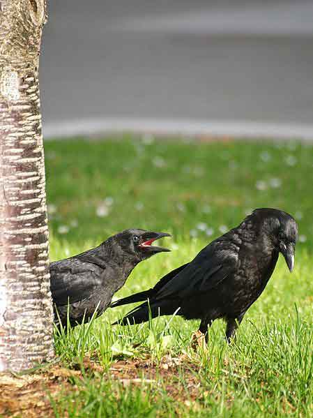 Fledgling American crow (left) pestering mother.
