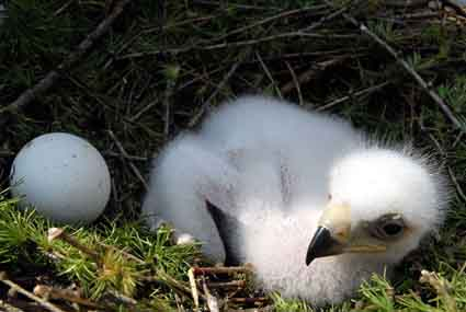 Golden eagle egg and chick: beware Big Brother (or Sister.)