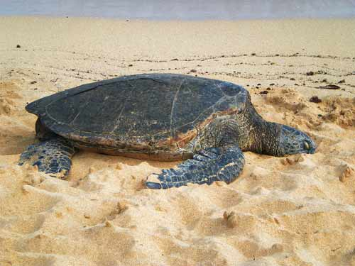 Honu's day off: green turtle on the beach