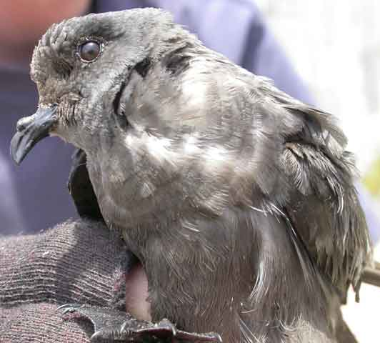 Ashy storm-petrel in the hand: victim of killer mice?