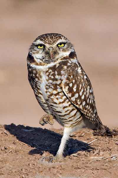 Burrowing owl: Fish and Wildlife Service scapebird?