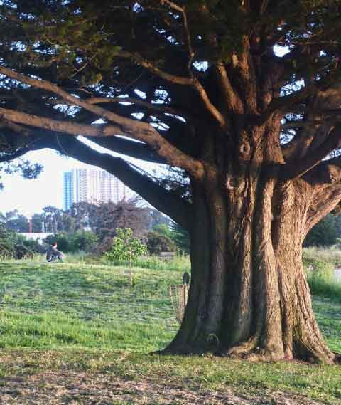 With the towers of Emeryville in the background, a lone visitor sits to watch the sunset approach near a massive Monterey cypress tree, most likely one of those planted in the late 1930s when the Park was first opened.