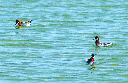 Red-necked phalaropes in breeding plumage, at the Hayward Regional Shoreline.