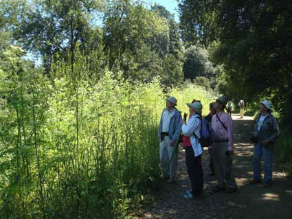 Along the Strawberry Canyon fire trails the group stops to look for butterflies in a luminous stand of hemlock and thistle.