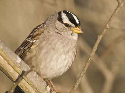 White-crowned sparrow songs track changes in habitat.