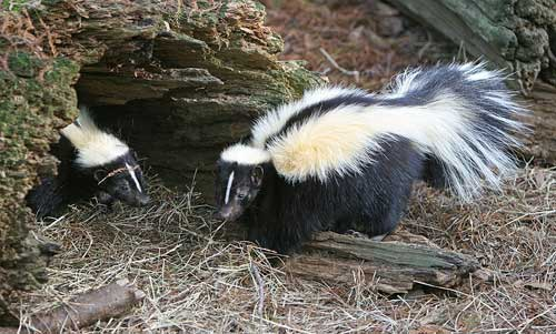 Striped skunks: truth in advertising.