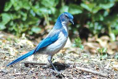 An adult western Scrub-Jay gives the camera a dubious look