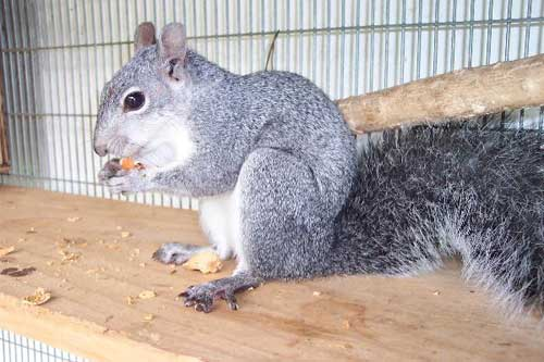 Western gray squirrel: reservoir species for the Lyme pathogen.