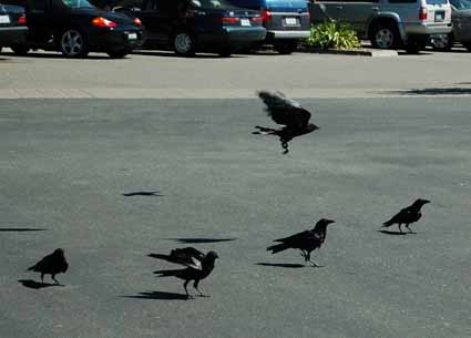 And then juvenile crows go out and hang around in delinquent gangs in parking lots. Really.
