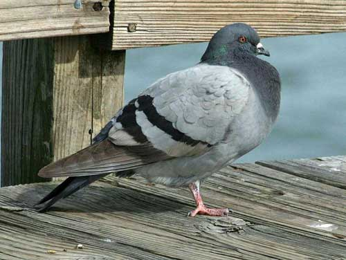 Rock pigeon: smarter than we thought?
