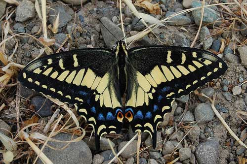Anise swallowtail: a fennel specialist.