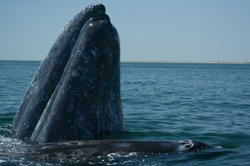 Mother and calf: grey whales in a Baja California lagoon.