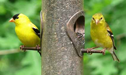 Male (left) and female American goldfinches at thistle feeder.