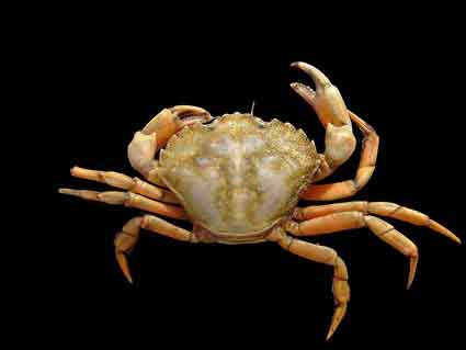 The European green crab, a recent invader on the West Coast.