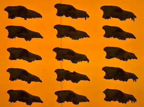 A few of the 3600 dire wolves from the La Brea tar pits.