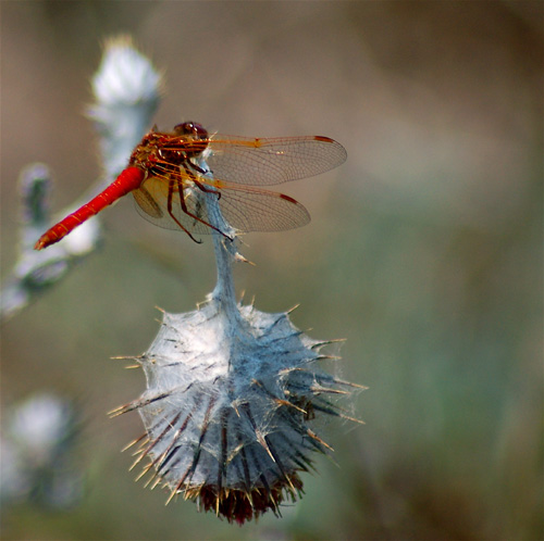 Meadowhawk dragonfly at rest on thistle.